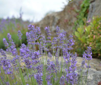Lavendel_3